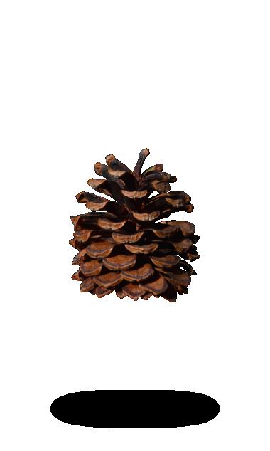 Pinus Mugo Pinecone