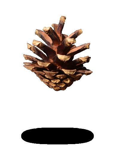 Pinus Sylvestris Pinecone