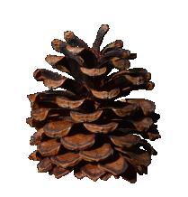 Pinus Mugo Pine Cone